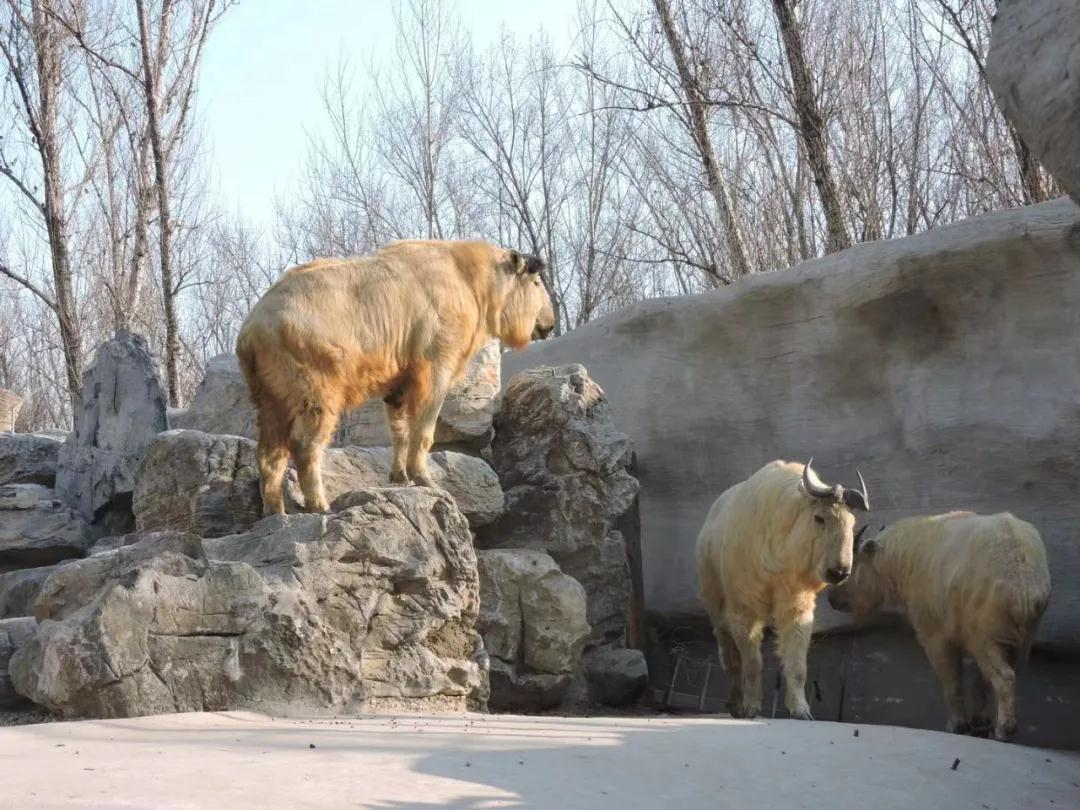 羚牛都有什么生活习性?会不会攻击人?